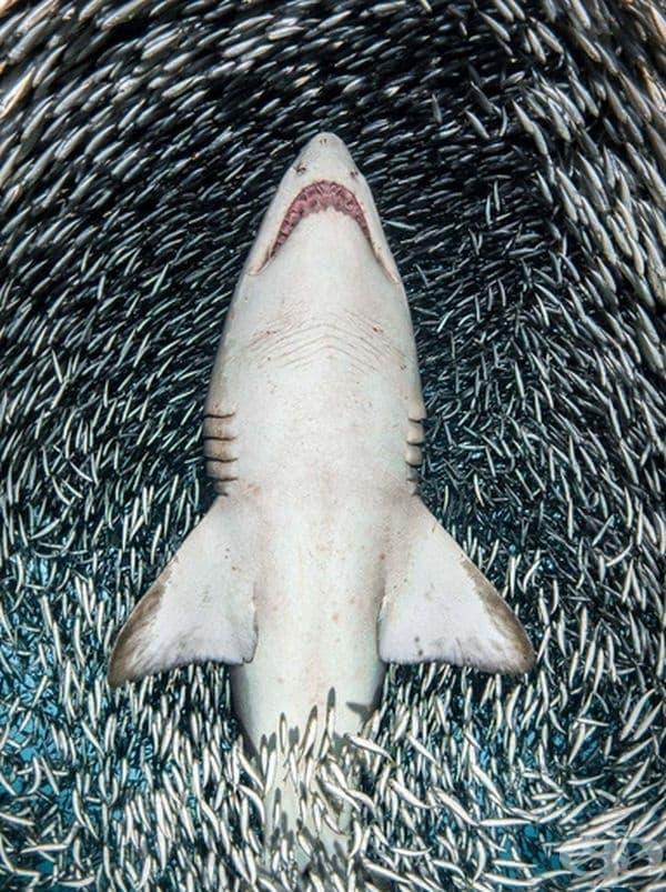 """""""Пясъчна тигрова акула, заобиколена от малка риба"""", победител в номинацията """"Портрет""""."""