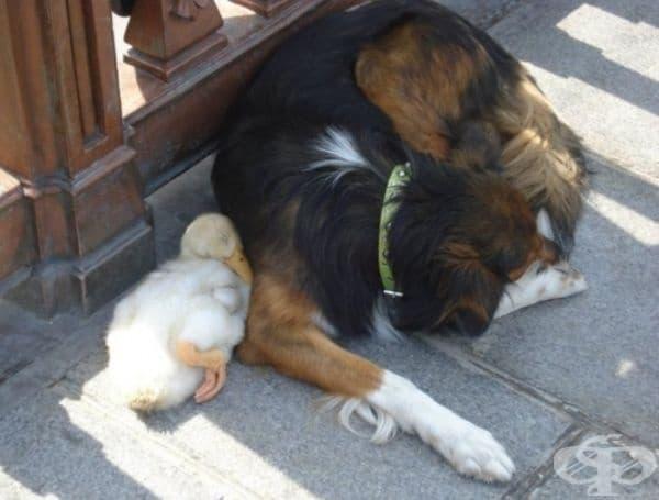 Куче и патица, които обичат да бъдат един до друг.