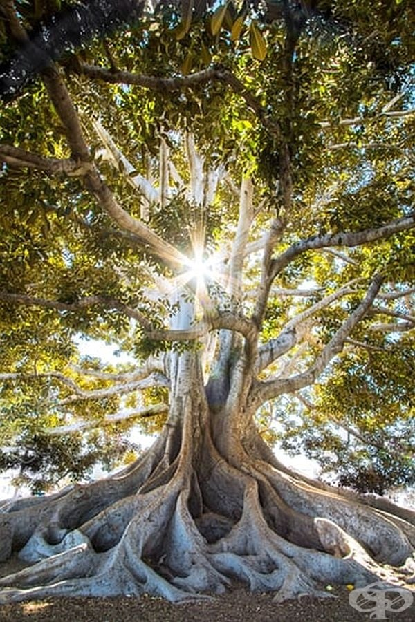 Магическо дърво.