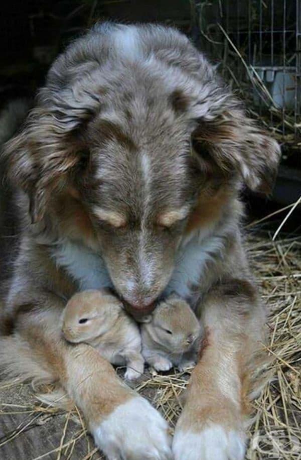 Куче, което се грижи за малки зайчета.