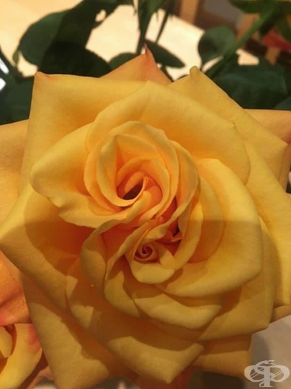 Две рози в една.