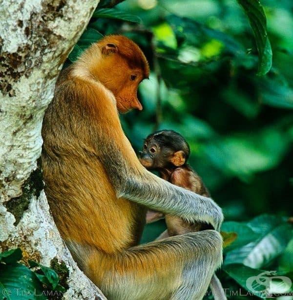 Дългоноса маймуна. Застрашеният вид може да се види единствено по местата на остров Борнео.