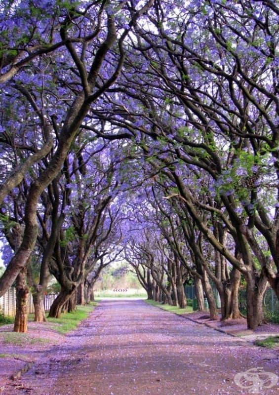 Дървета Джакаранда, Южна Африка.