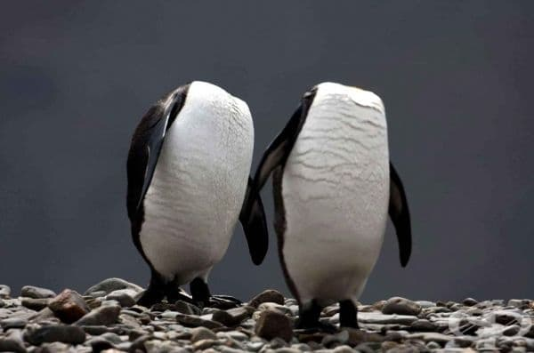 На пръв поглед обезглавени кралски пингвини на остров Атлантик (фотограф: Paul Goldstein).
