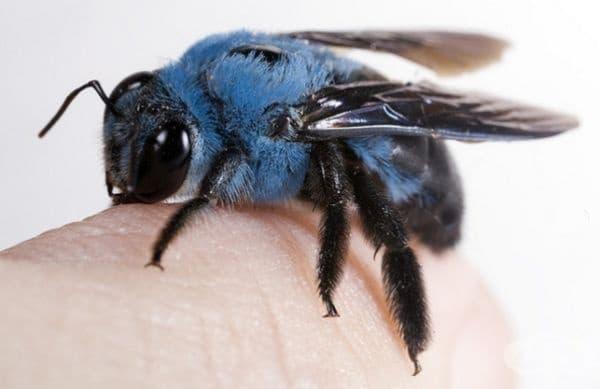 Дива синя пчела.