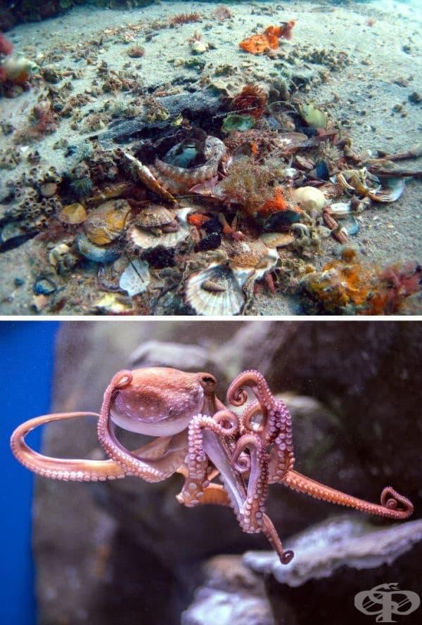 """Октоподите събират лъскави предмети и ракообразни черупки, за да построят градини около своите пещери. Те правят това с една основна цел - да останат """"под прикритие"""" и да защитят домовете си."""