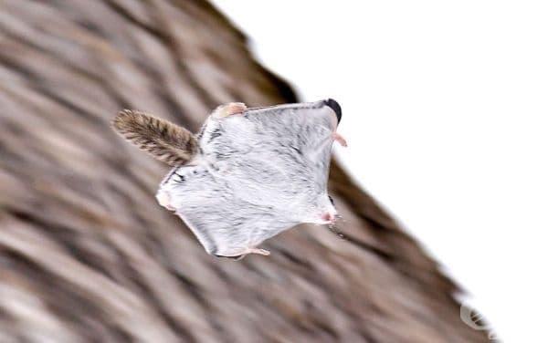 12 от най-сладките летящи катерици на планетата
