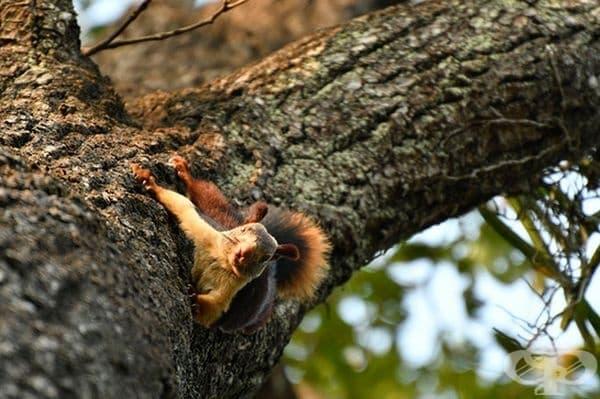 Зоологическият парк Раджив Ганди в Пуна е едно от местата, където може да се видят тези красиви животни.
