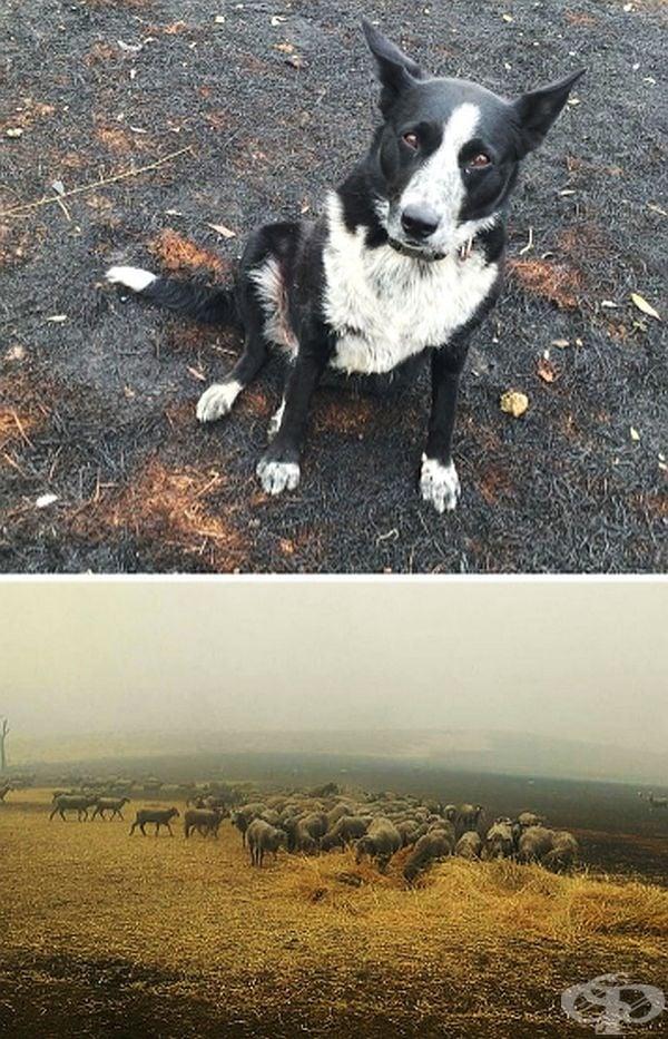 Това куче е спасило стадо овце като ги отвело на сигурно място до конюшня, докато собственикът им се борил с огън, който наближавал фермата му.