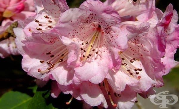 Рододендрон. Красивият и вечно зелен храст съдържа андромедотоксин. Той причинява гадене, силна болка, парализа и дори смърт.