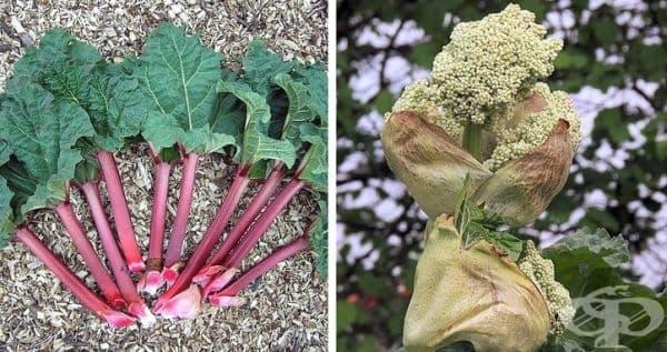 Но ревенът е зеленчук, а не плод. В него няма семена, затова си е в категорията на зеленчуците.