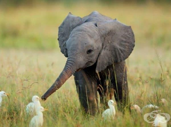 Бебе слон играе с малки патенца.
