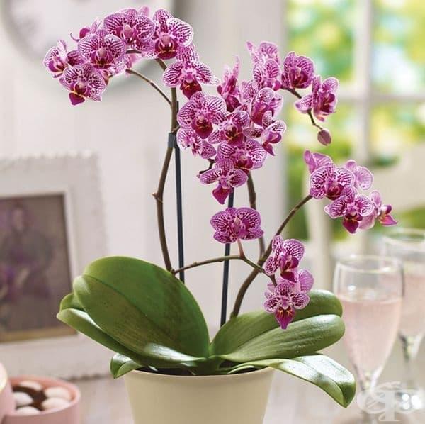 Орхидея. Привлича положителната енергия и подобрява атмосферата на дома. Може да се отглежда и в спалнята, тъй като освобождава кислород през нощта.