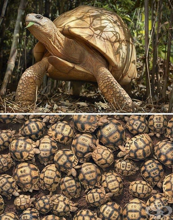 Мадагаскарска ъглеста костенурка