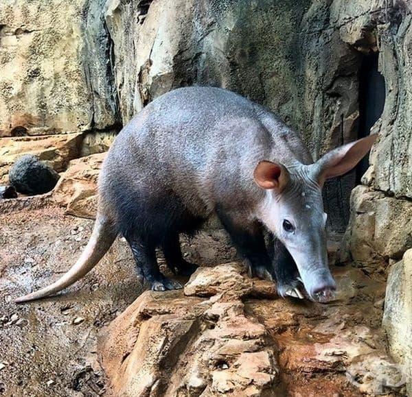 Ардварк е вид юж.-афр. мравояд/тръбозъб, който е единствен вид на древен разред бозайници, пригоден за копаене на дупки в земята.