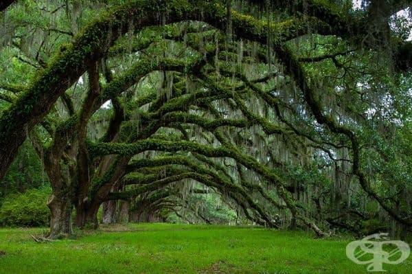 Дъбова алея, Южна Каролина.