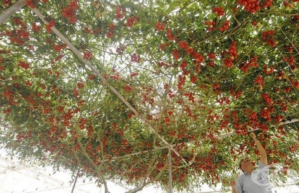 15 снимки на доматени дървета с огромна реколта