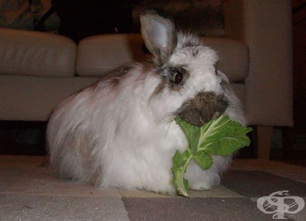 Зъбите на заек никога не спират да растат, просто твърдата растителна храна, с която се хранят, им помага да се износват.