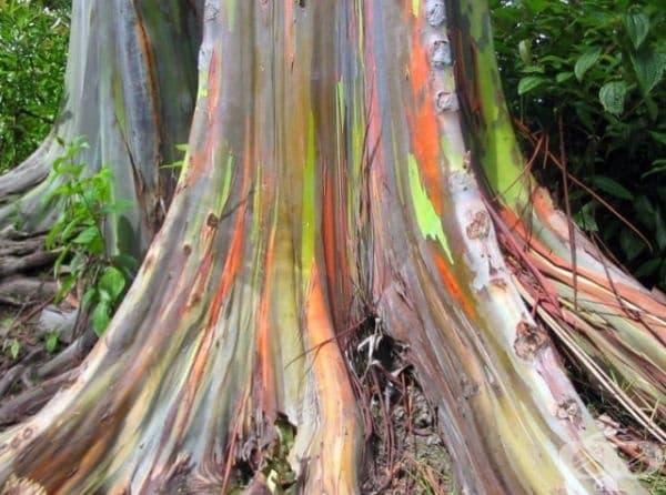 Евкалипт с разноцветна кора.