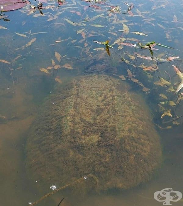 Гигантска кайманова костенурка в езерото.