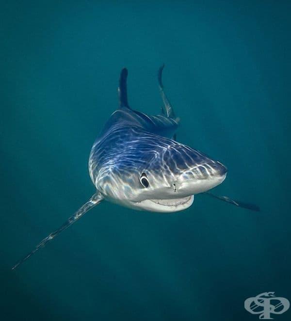 Синята акула се усмихва на камерата.