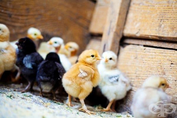 Малките пиленца могат да общуват помежду си, докато са още в яйцето, чрез система от звуци.