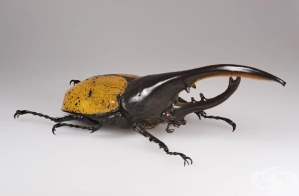 Бръмбарът Херкулес тежи само 100 грама, но той може да вдигне тегло от 8 килограма, което го превръща в най-силното живо същество на Земята.