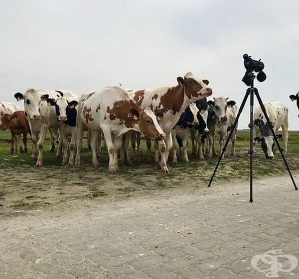 Стадо любопитни крави.