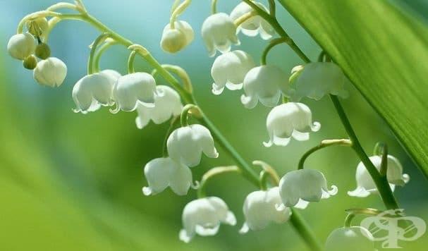 Момина сълза. При поглъщане на големи количества от растението се наблюдават симптоми като гадене, повръщане, гърчове, диария и забавен сърдечен ритъм.