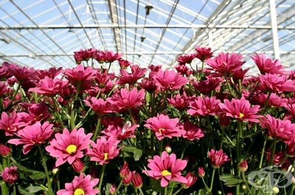 Хризантема. Счита се, че има лечебни свойства, пречиства въздуха и елиминира токсините. Хризантемата подпомага доброто здраве и символизира дълголетие.