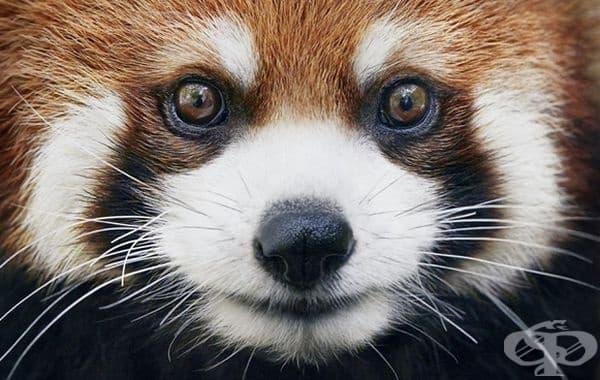 Червена панда