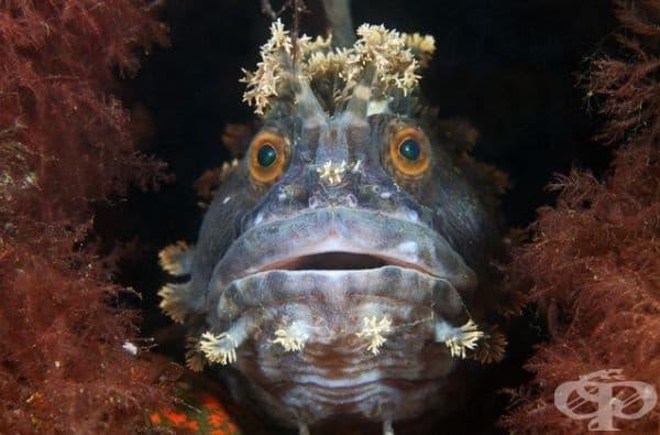 Коронована риба от вида Chirolophis japonicus.