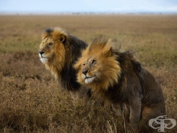 Лъвове, Серенгети. (Снимка: Майкъл Никълс)