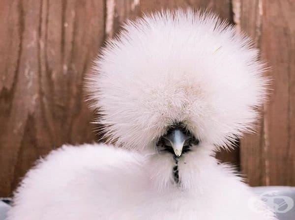 Бяла копринка. Порода кокошка, която носи името си от нетипичното оперение, наподобяващо коприна.
