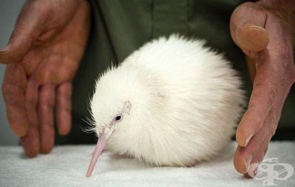 Още един пухчо - киви албинос.