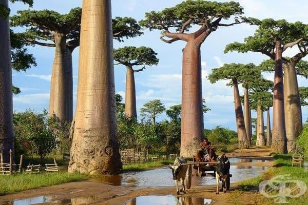 Баобаб, Мадагаскар.