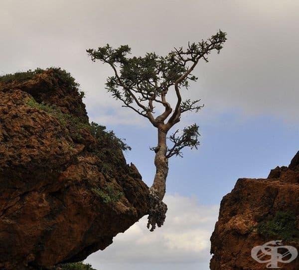 И продължава да расте, дори на ръба на скалата.