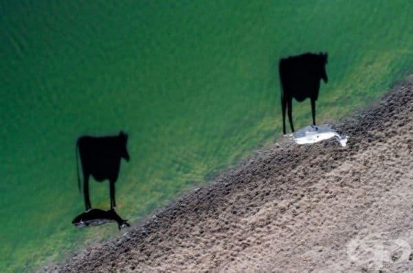 Две осветени от слънцето крави на сутрешен водопой. Южна Африка