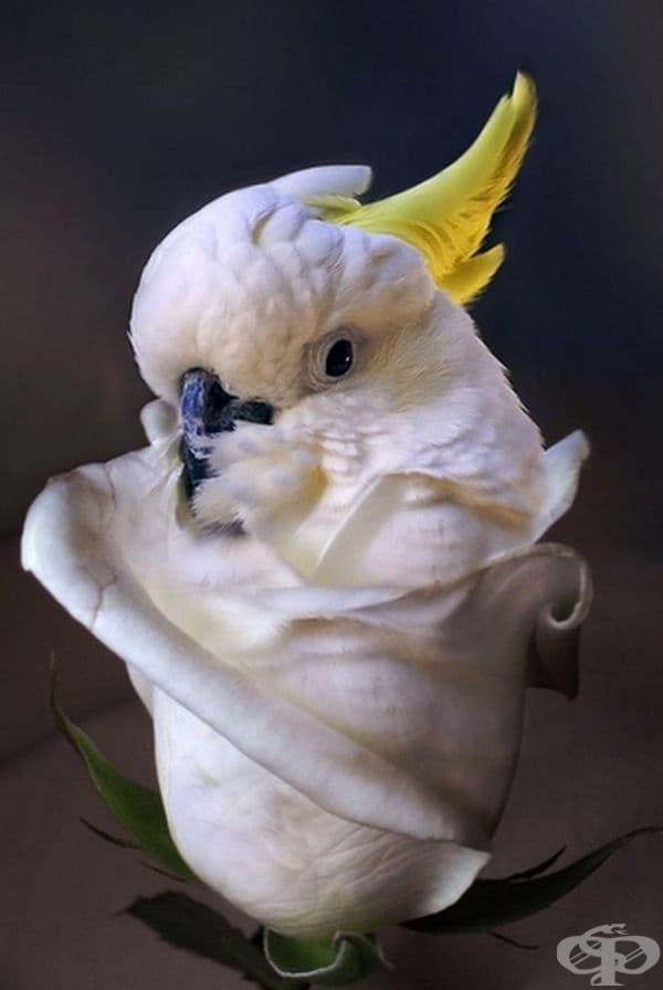 Папагалороза.
