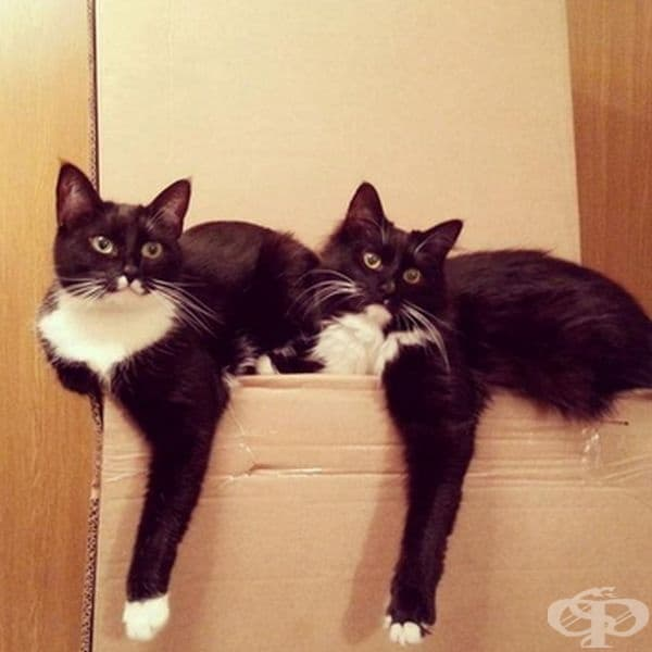 Женските котки обикновено са десничари, а мъжките - левичари.