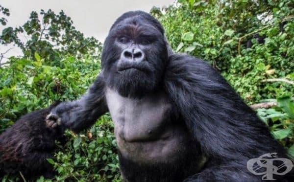 Снимка на горила, секунда преди да грабне фотоапарата.