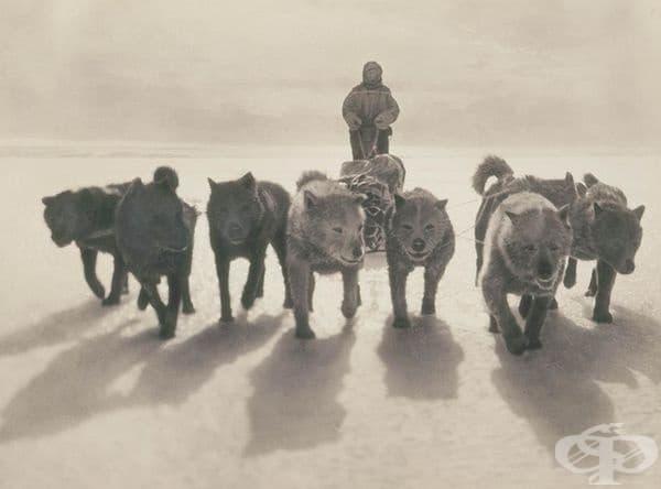 Кучета дърпат шейни по време на първата експедиция на Австралийската антарктика, 1911-1914