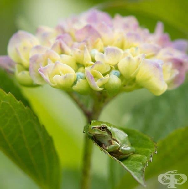Очарователни дървесни жаби върху хортензии
