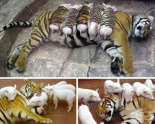Може да е хищник, но на първо място е майка.