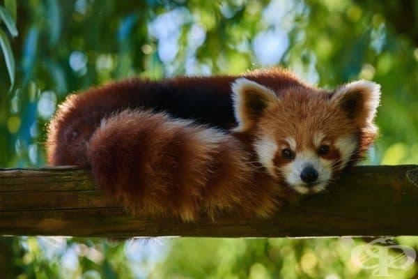 Червените панди имат гъсти опашки, които използват като одеяло през зимата, за да се топлят, докато спят.