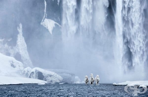 Снимки на приказни коне, живеещи в екстремни условия в Исландия