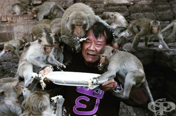 Фестивалът на маймунския бюфет, Тайланд. Местните хора вярват, че маймуните носят късмет на хората и района, в който живеят и всяка година провеждат празненство, което очаква тези гости на подготвени маси с около 4500 кг различни плодове и десерти.