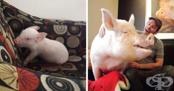 Канадци купили мини прасе за домашен любимец, но то пораснало твърде много - изображение