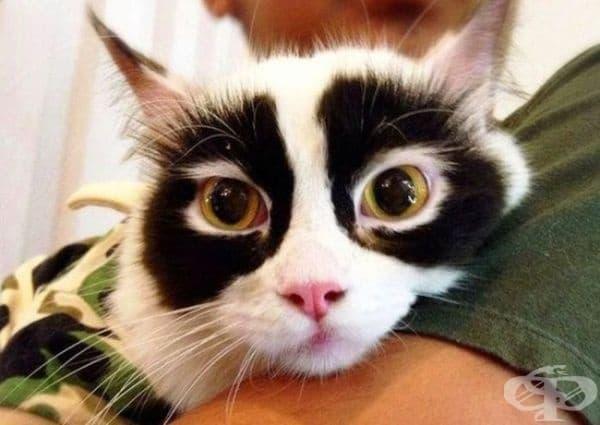 Котка Зоро.