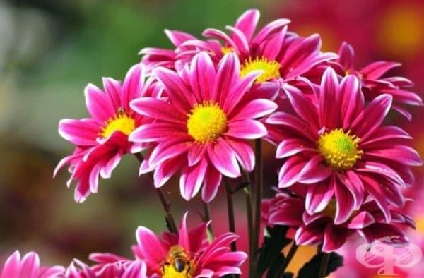Хризантема. Листата и стъблото на растението са отровни и често предизвикват алергични реакции на кожата и различни форми на дерматити.
